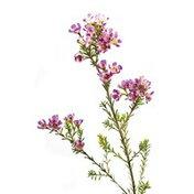 5 Stem Waxflower