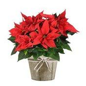 "6"" Red Poinsettia"