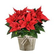 """Floral 6.5"""" Red Poinsettia"""
