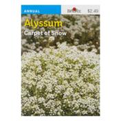 Burpee Alyssum Carpet of Snow