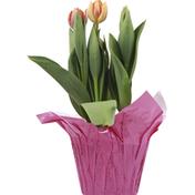 Na Tulips