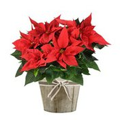 "6.5"" Red Poinsettia"