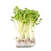 Organic Daikon Radish Sprouts