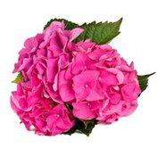 "Debi Lilly 6"" Pink Hydrangea"