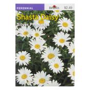 Burpee Shasta Daisy Silver Princess