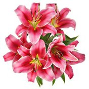 Assorted Pink Oriental Lily