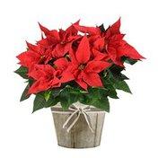 6'' Poinsettias Pot