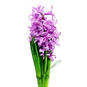 """6"""" Hyacinth"""