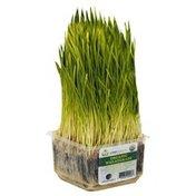 Urban Produce Wheatgrass, Organic