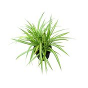 """From Our Garden 4"""" Spider Plant"""