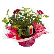 Ahold Mini Rose