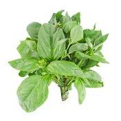 North Shore Living Basil Herb Pot