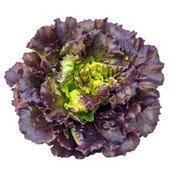 Red Oakleaf Lettuce