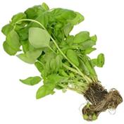 Herb Co. Living Basil