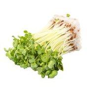 Daikon Radish Sprouts