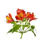 Orange & Red Alstroemeria