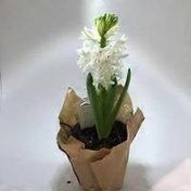 "Klepac 4"" Spring Bulb Assortment"