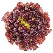 Red Butterhead (Boston, Butter, Bibb) Lettuce