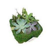 Debi Lilly 6'' Debi Lilly Succulent Moss Garden