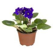 """Ahold 4"""" African Violet"""