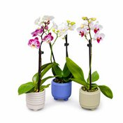 Westerlay Orchids Phalaenopsis Orchid Plant