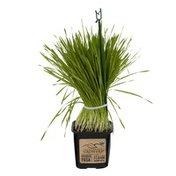 Shenandoah Growers Wheatgrass
