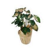 """6"""" Caladium Plant"""