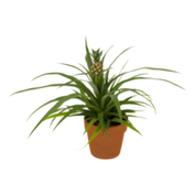 Dsfg Pineapple Plant in Clay