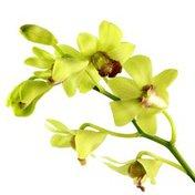 "5"" Green Gem Orchid"