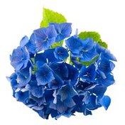 Fresh Cut Blue Hydrangea Stems