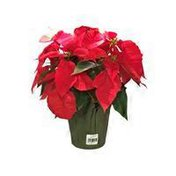 """Mariano's 6.5"""" Blooming Red Poinsettia"""
