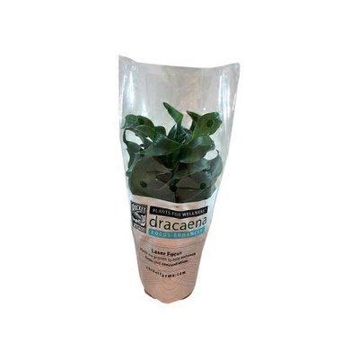 Draceana Plant Pfw
