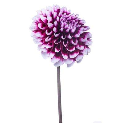 "6.5"" Plant Source Dahlia"