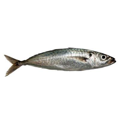 Whole Boston Mackerel