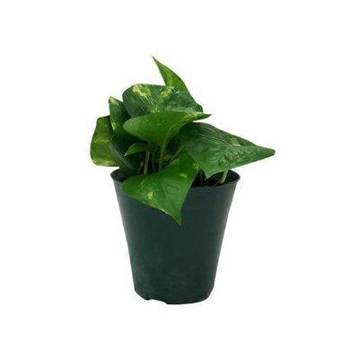 "4"" Pothos Plant"