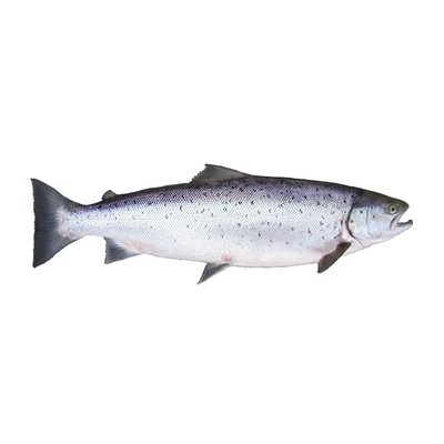Fresh Whole Atlantic Salmon