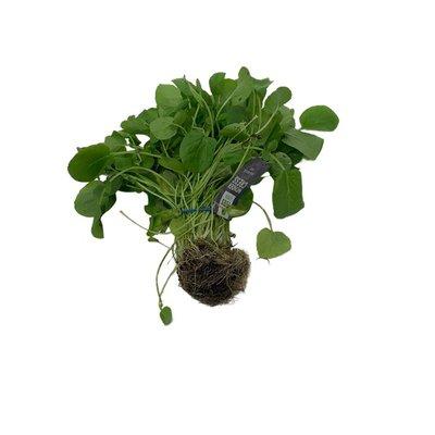 Watercress  Microgreens