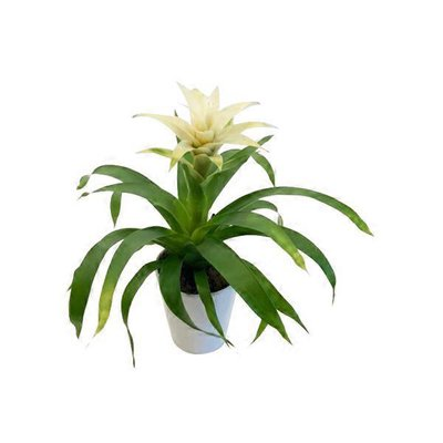 Bromeliad Vase Pot