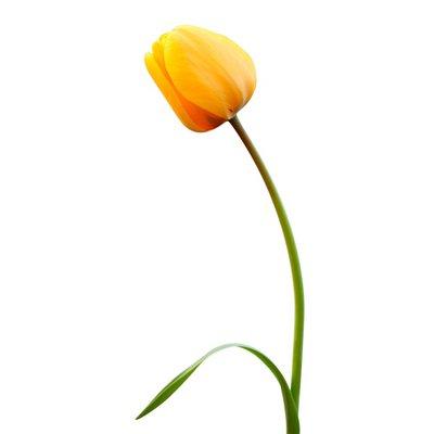 10-Stem Tulips