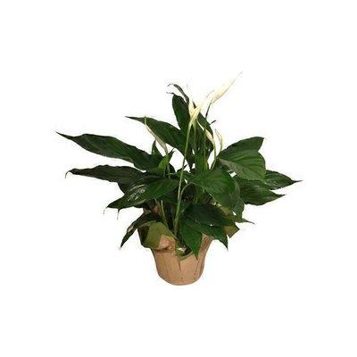 """6"""" Spathiphyllum"""