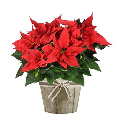 """Fresh 7"""" Red Poinsettia Where Available"""