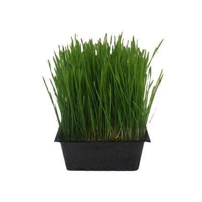 Shasta View Organic Wheatgrass