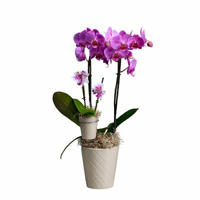 Westerlay Orchids Mother & Child Orchid Plants