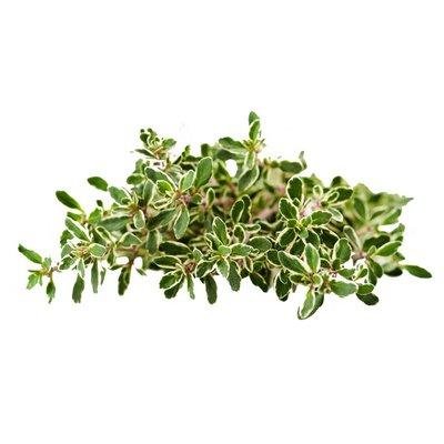 Organic Lemon Thyme