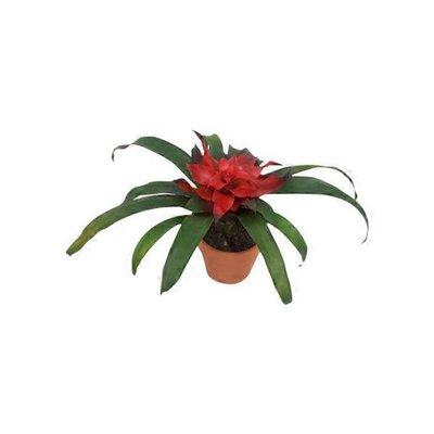 "4"" Bromeliad In Clay Pot"