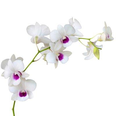 Magic Art Orchid