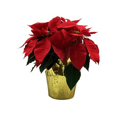 "6"" Poinsettia Plant"