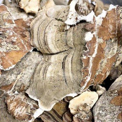 Dried Turkey Tail Mushroom