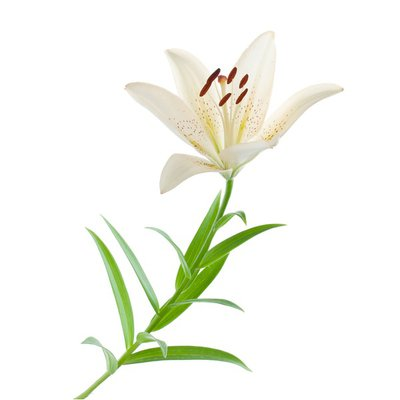 Assorted White Oriental Lily