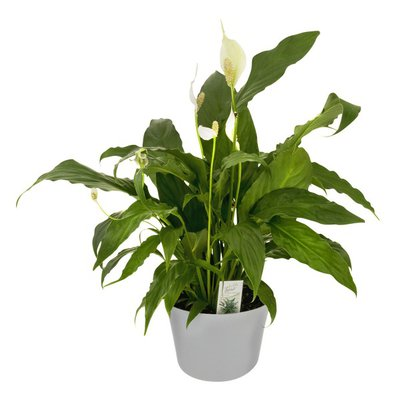 Peace Lily 6 Inch Pot